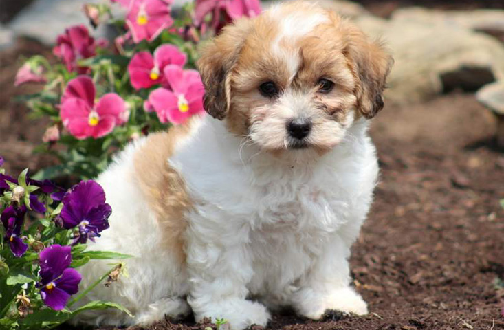 Shichon puppy for sale with spots