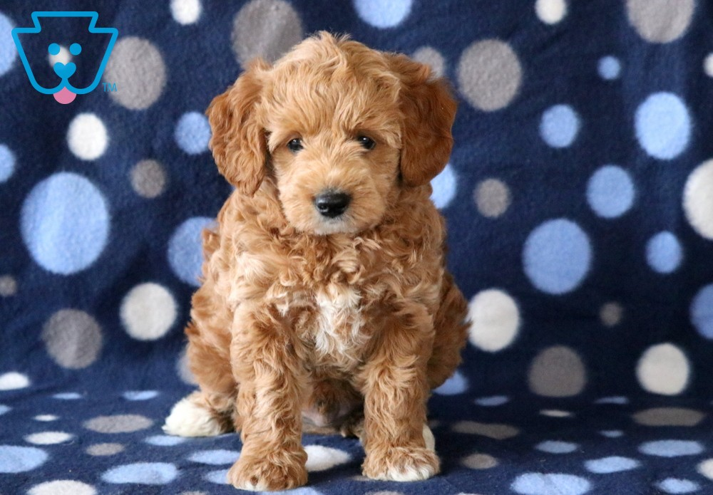 View Ad: Labradoodle Puppy for Sale near In Finland