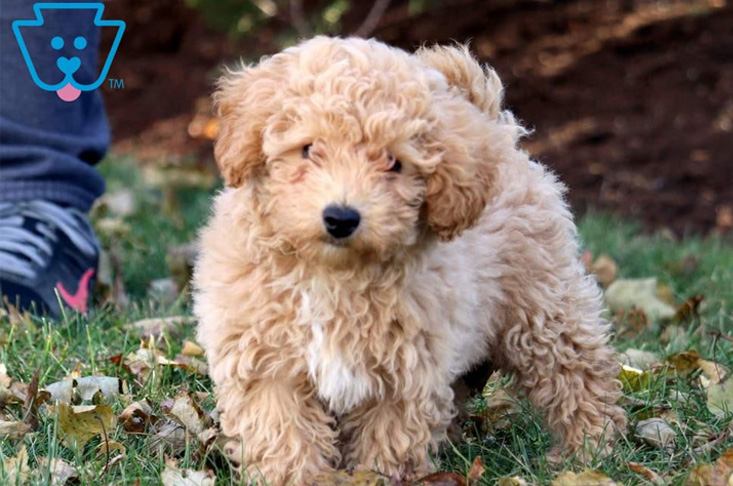 Adorable golden Bichpoo puppy for sale
