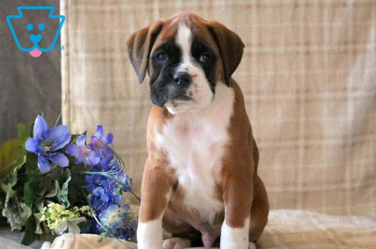 Friendly Boxer puppy for sale in PA