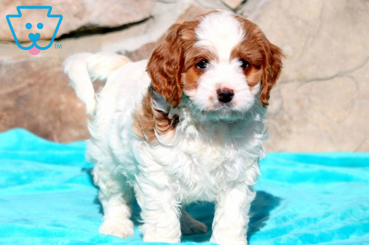 Cavapoo puppy with spots