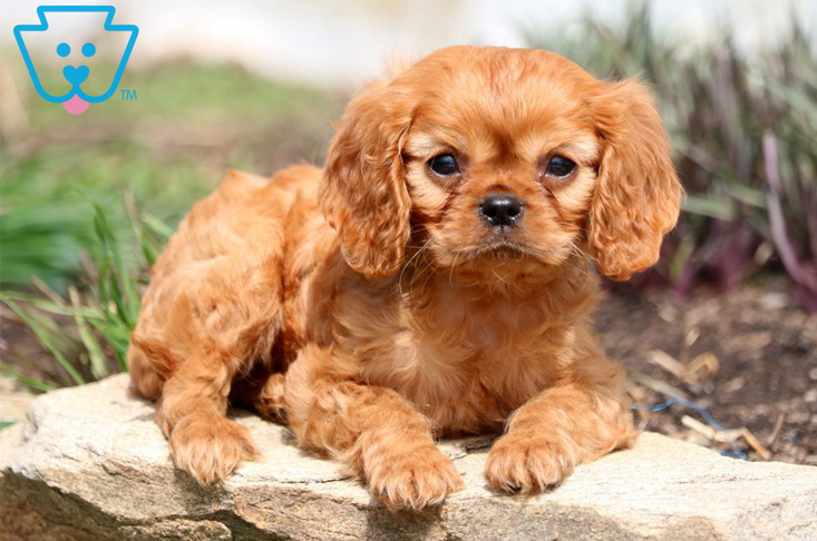 Copper colored King Cavalier puppy for sale