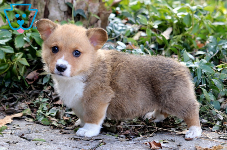 Welsh Corgi Puppy with Spots