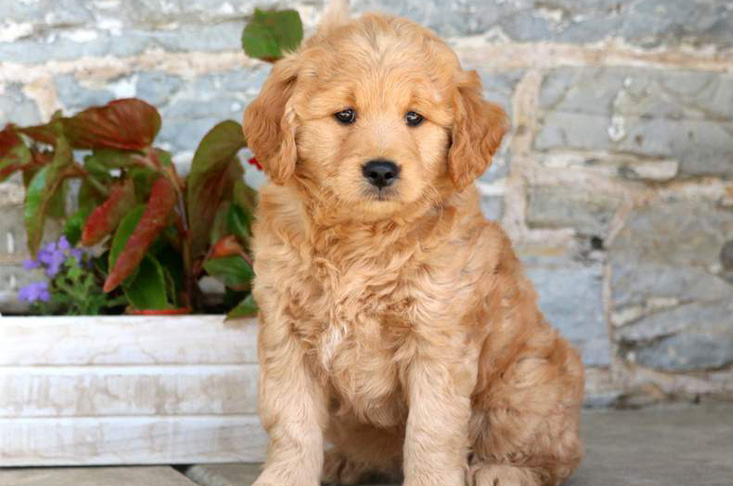 Mini Goldendoodle Puppy for Sale in PA