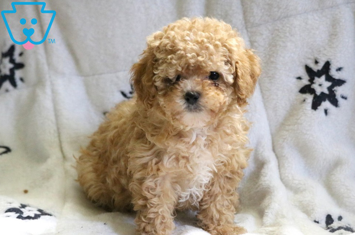 Blonde curly Poodle for sale