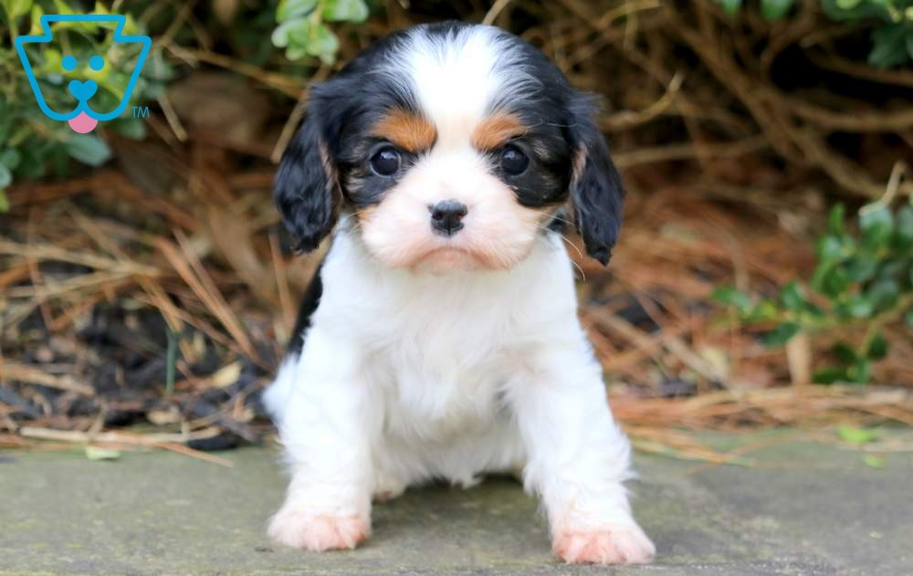 Cavalier puppy with black and white spots