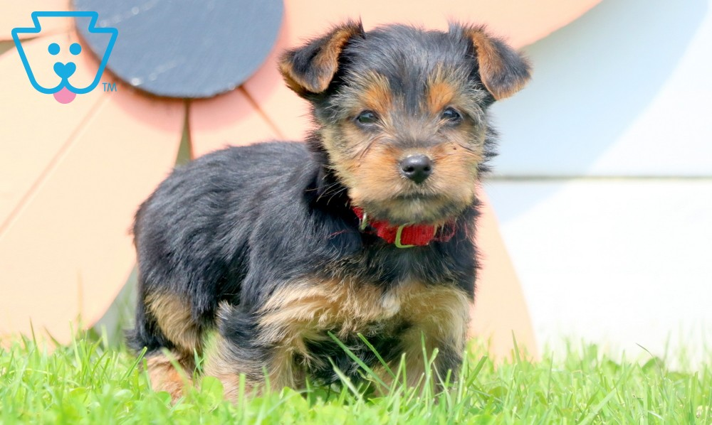 Marcus | Yorkshire Terrier Puppy For Sale | Keystone Puppies