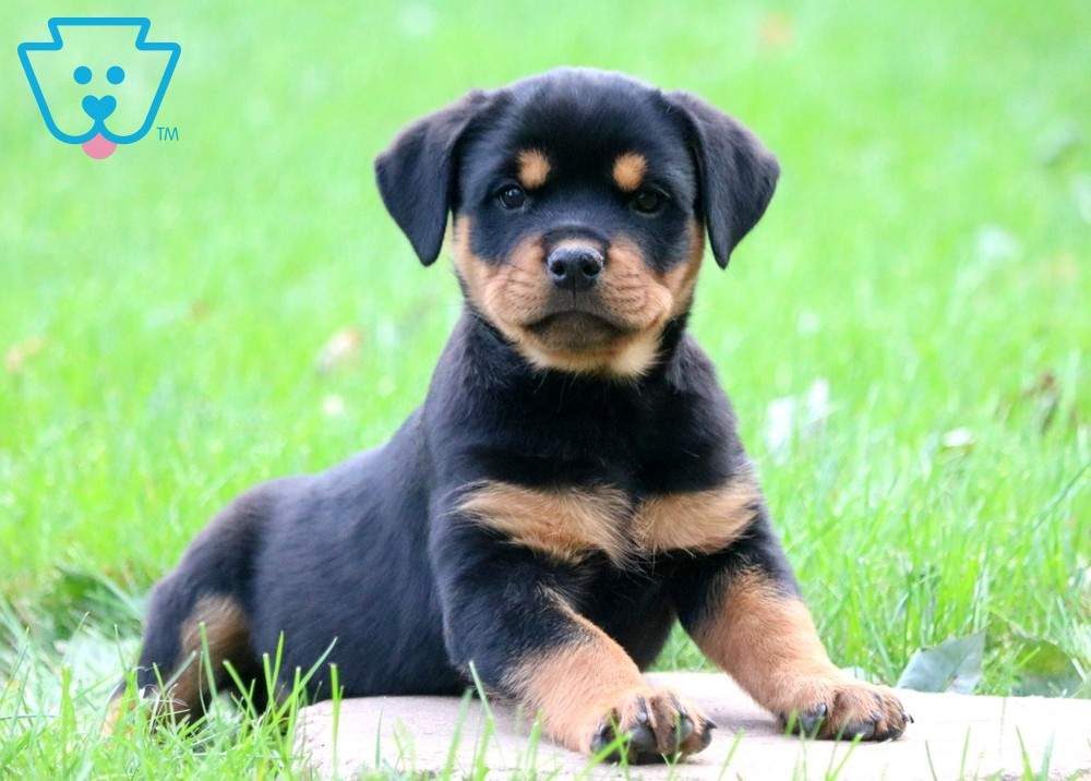 Small Rottweiler puppy in yard