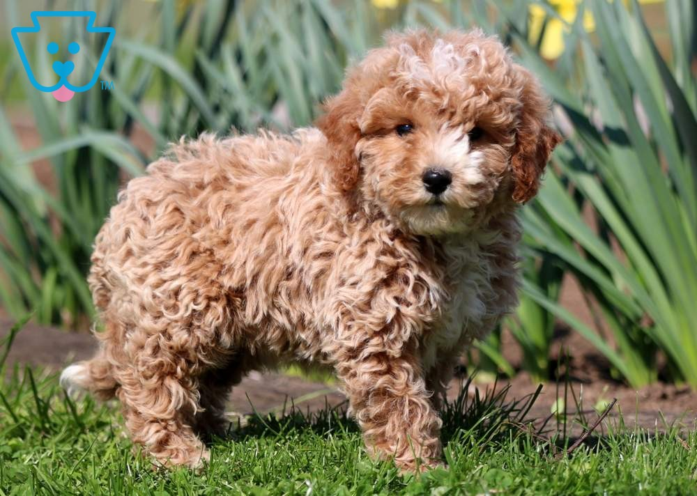 Mini poodle for first time dog owner