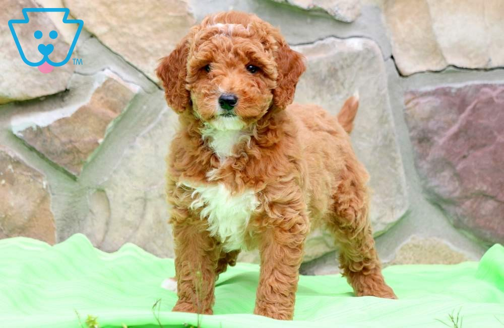 Mini Goldendoodle as first dog breed