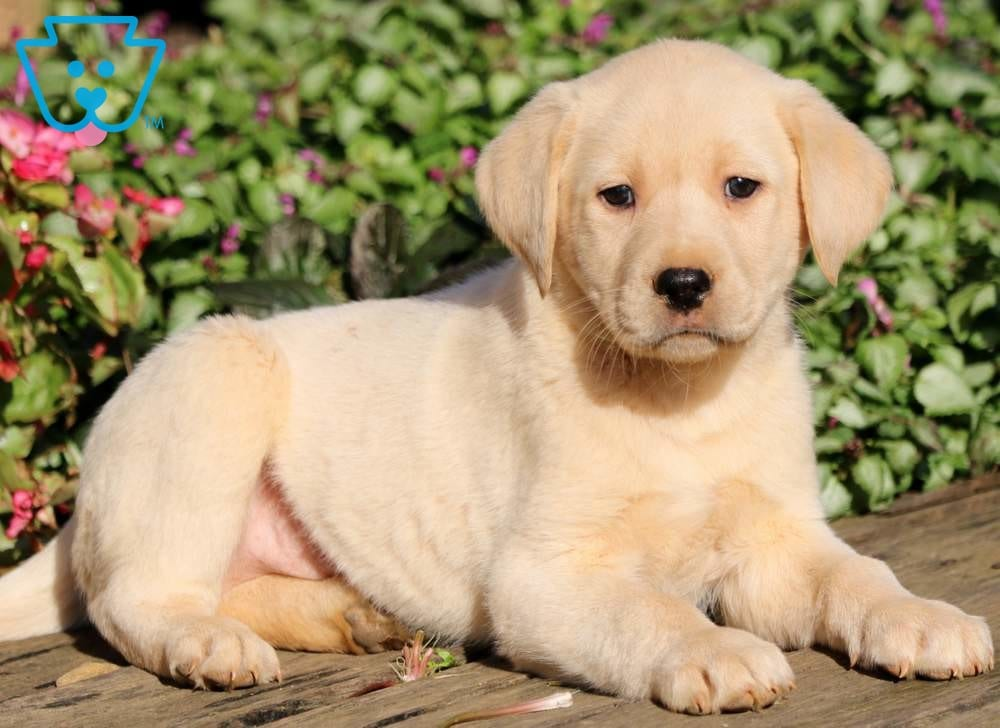 Yellow Labs for Anxiety Support