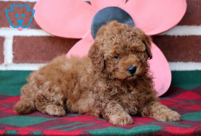 Thomas Mini Poodle2