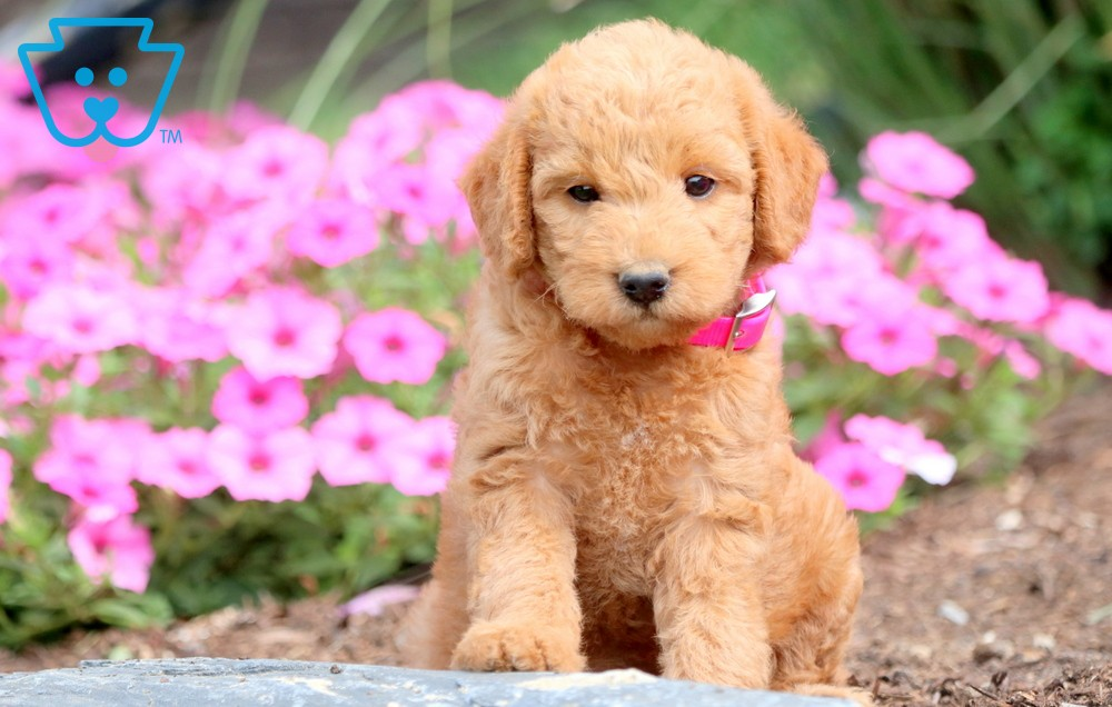 Labradoodle Puppy For Sale In Romania