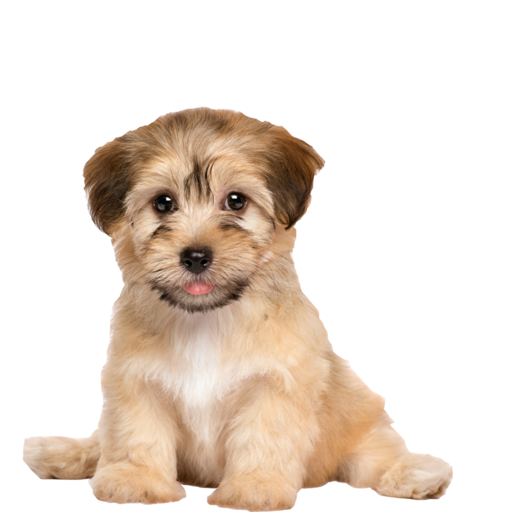 Cute Toy Dogs For Sale How To Adopt The Best Toy Puppies Available