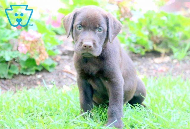 Nash Chocolate Lab 1