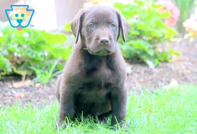 Nibbles Chocolate Lab 1-001