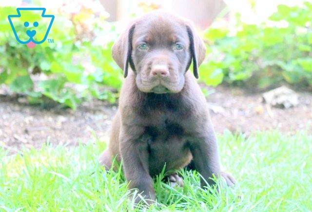 Nipper Chocolate Lab 1