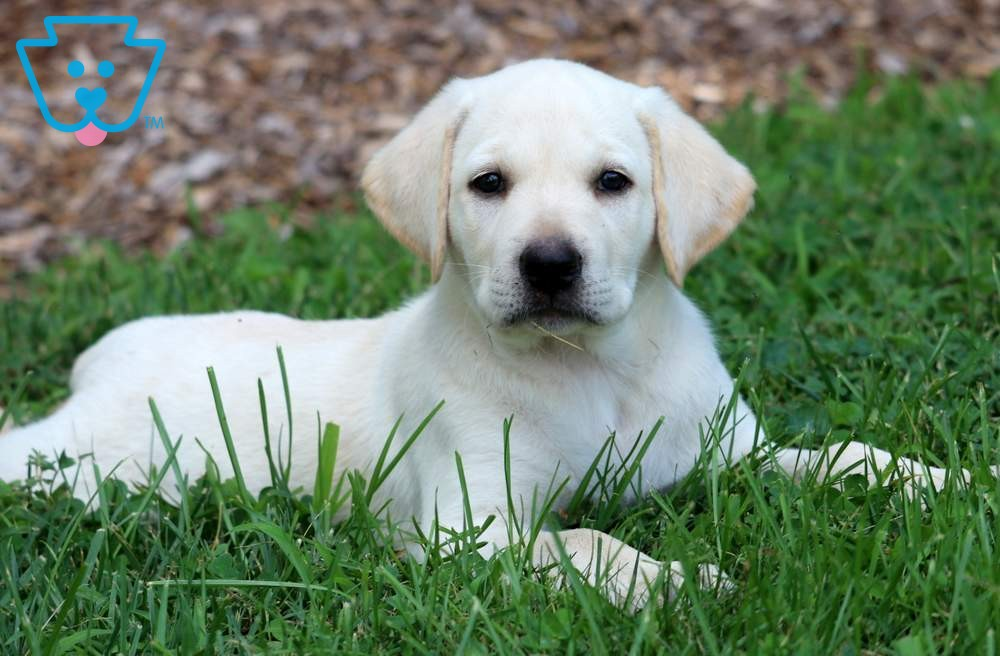 Buy Yellow Lab Puppies For Sale In Quebec Canada