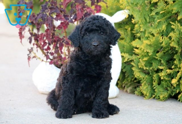 Candy Goldendoodle