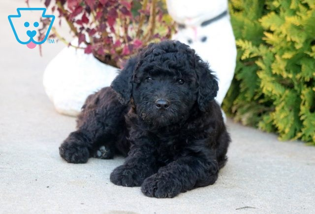 Candy Goldendoodle2