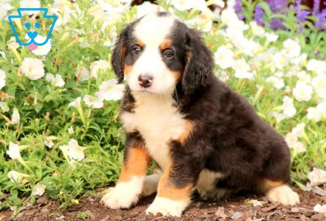 Lilly Mini Bernedoodle 1-001