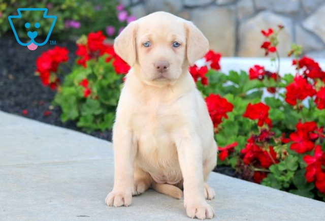 Rylie Yellow Lab 1-001