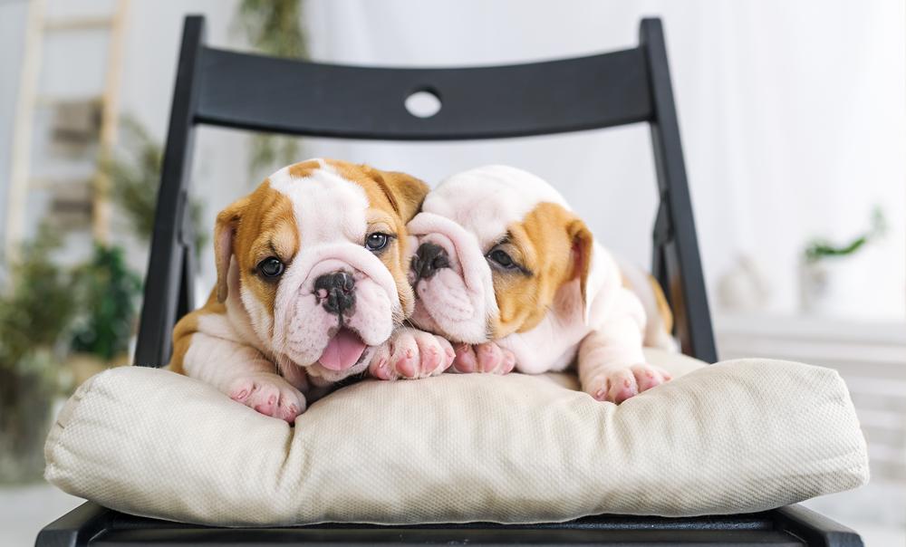 Cachorros de raza pura en venta en PA