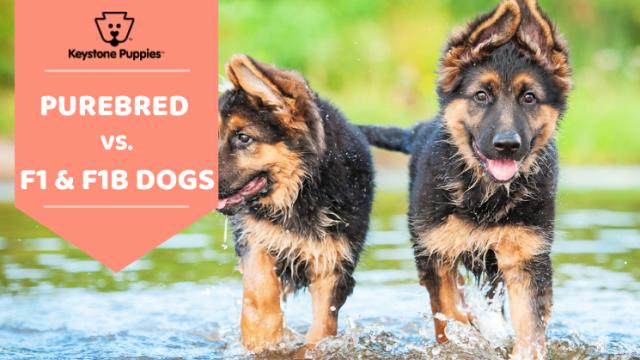 Key Dog Terms: Purebred, F1 & F1B