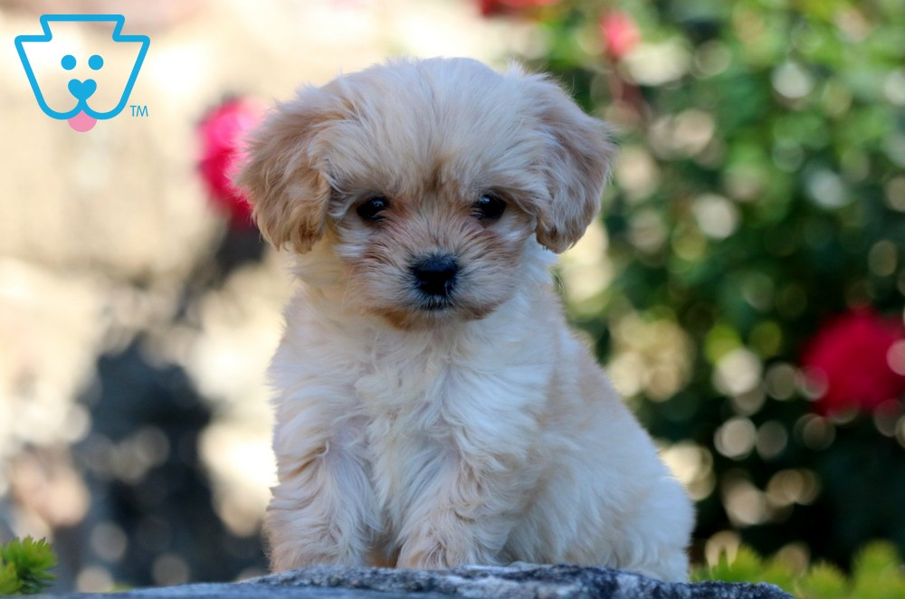 Buy CavaChon Puppies For Sale In Billings, Montana USA