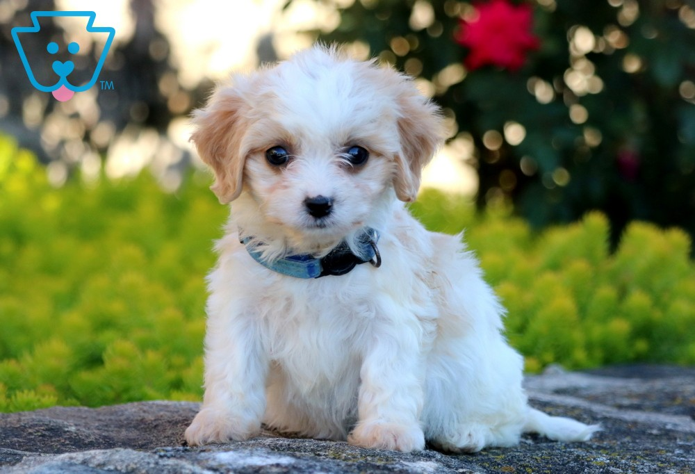 Buy Cavachon Puppies for Sale in Vermont USA