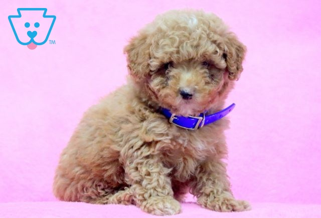 Buck Mini Poodle 1-001