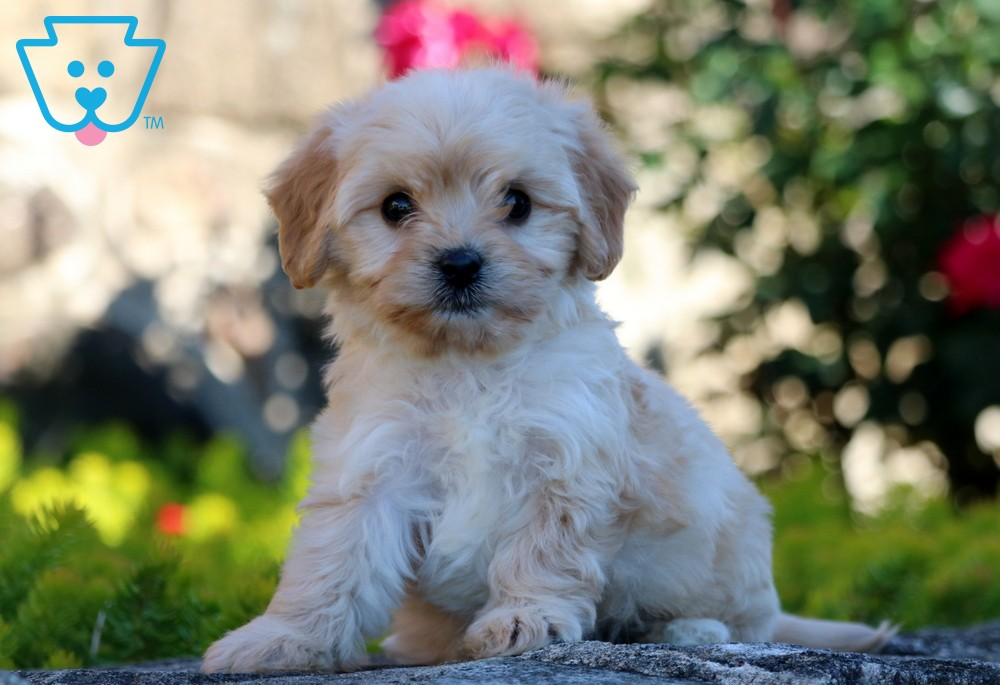 Buy Cavachon puppy for Sale in CROSS TIMBERS, Missouri USA