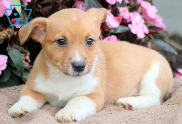 Carlos Jack Russell Mix 1-001