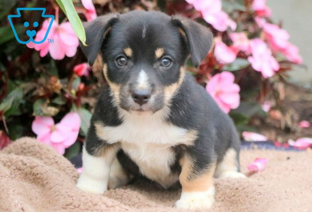Carson Jack Russell Mix 1-001