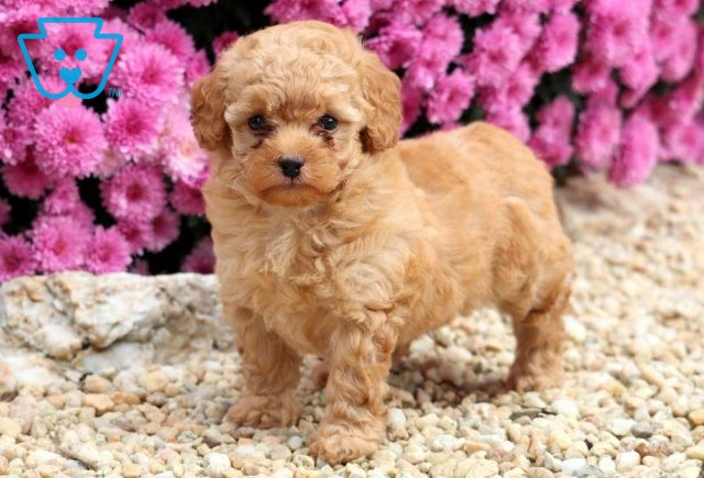 Chance Toy Poodle