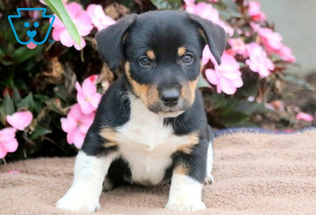 Chops Jack Russell Mix 1-001
