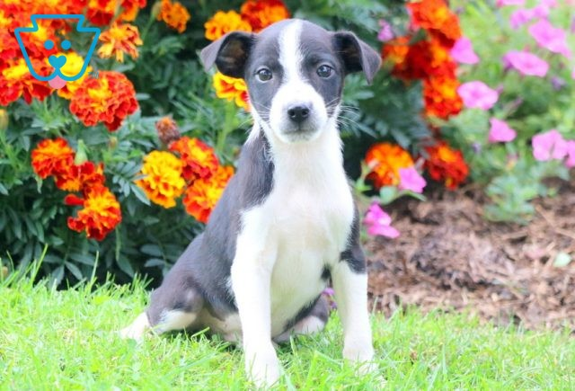 Louie Jack Russell Mix 1-001
