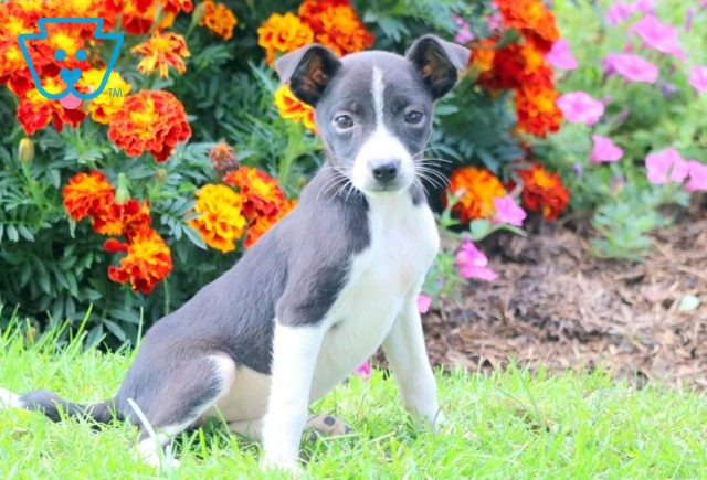 Lucky Jack Russell Mix 1-001