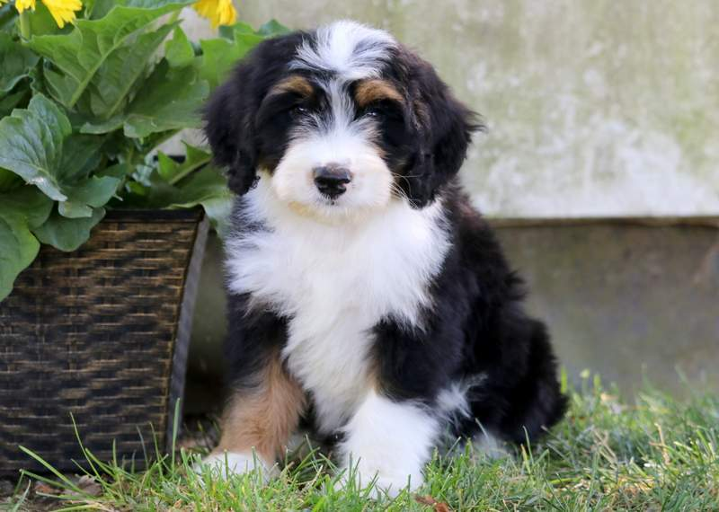 Mini Bernedoodle puppies in PA