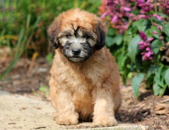 Fluffy Mini Whoodle puppy for sale
