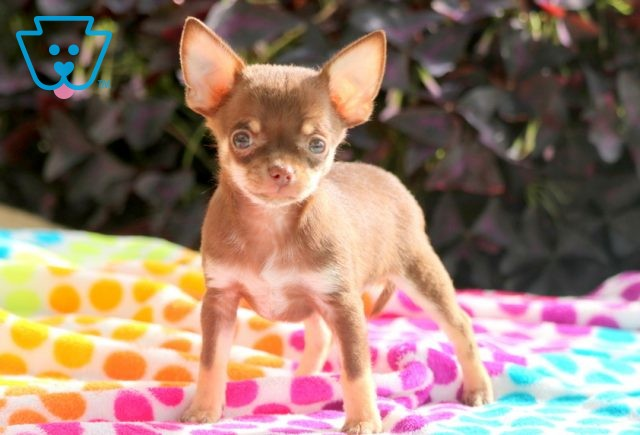 Scooter Chihuahua 1-001