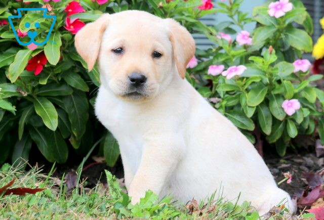 Tatum Yellow Lab 1-001