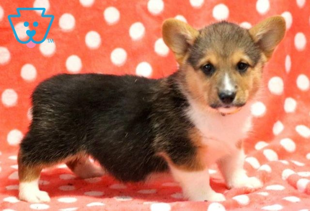 Tiffany Welsh Corgi
