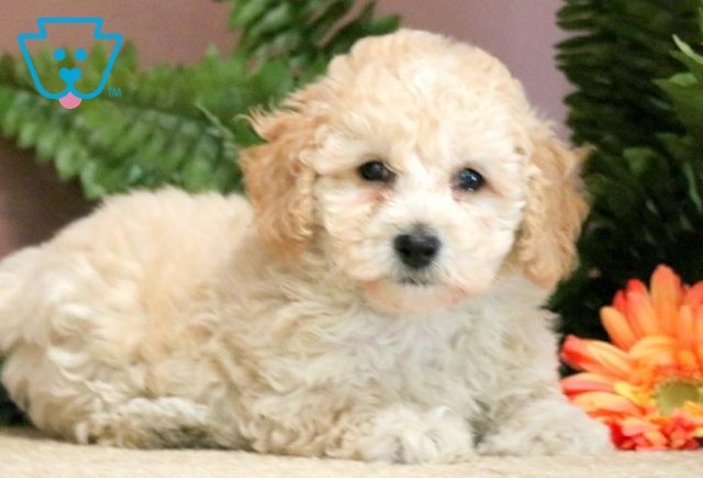 Toby Toy Poodle 1-001