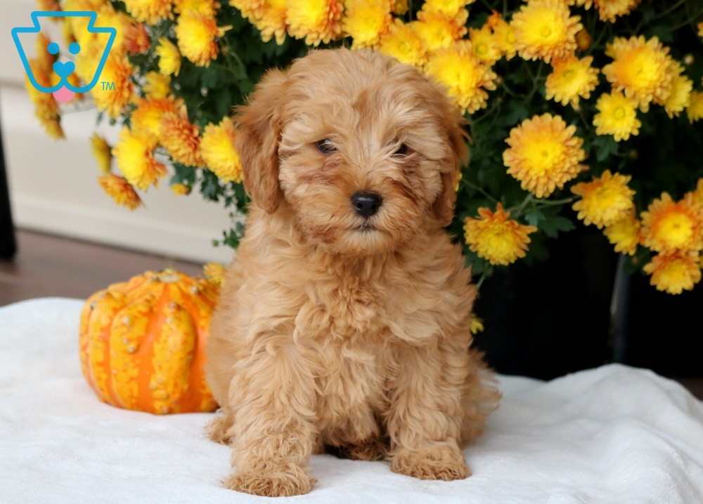 Mini Goldendoodle puppy breed for sale