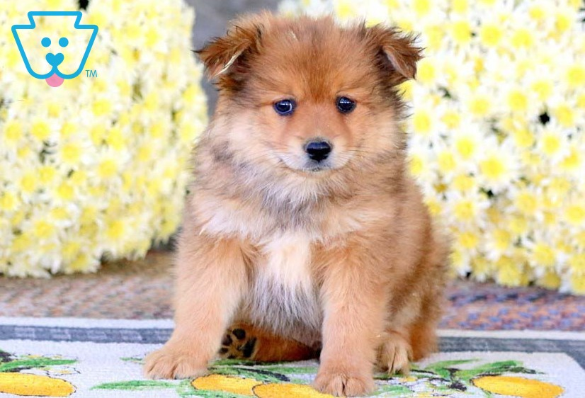 Tanf fluffy Pomeranian puppy for sale
