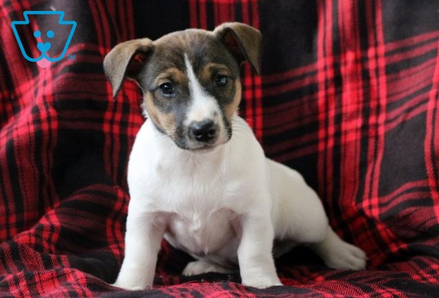 Babycakes Jack Russell