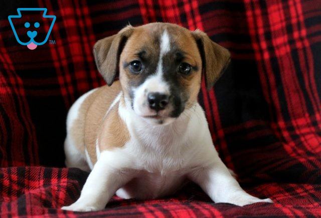 Beanie Jack Russell