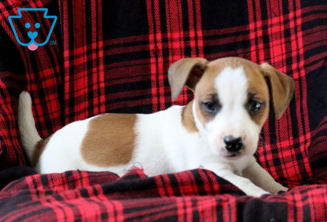 Buttercup Jack Russell