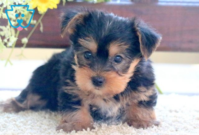 Buttons Yorkie 1-001